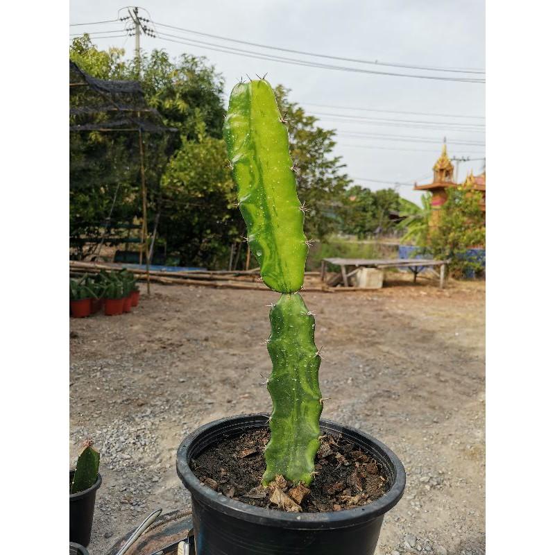 ตอสามเหลี่ยมด่างตัดสด Cactus ไม้ด่าง แคคตัส กระบองเพชร ไม้อวบน้ำ ไม้กราฟ