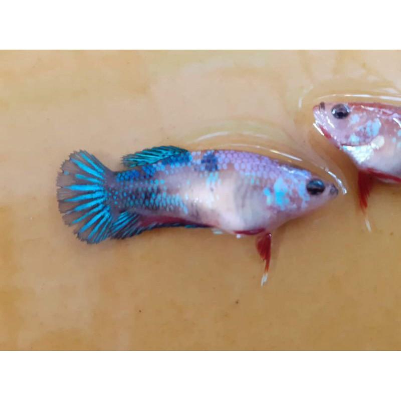 ปลากัดสวยงามรับประกันๆๆๆๆๆๆๆ