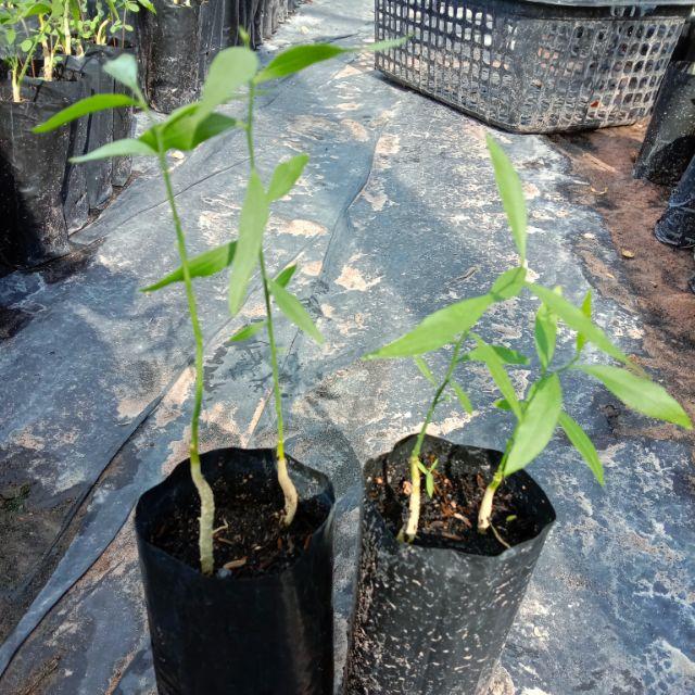 ต้นผักหวานป่าพันธุ์สีทองแบบกล้าเมล็ด