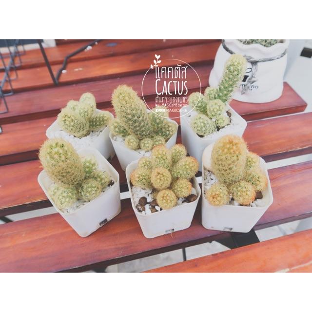 Cactus กระบองเพชร :: แมมฯนิ้วทอง Mammillaria