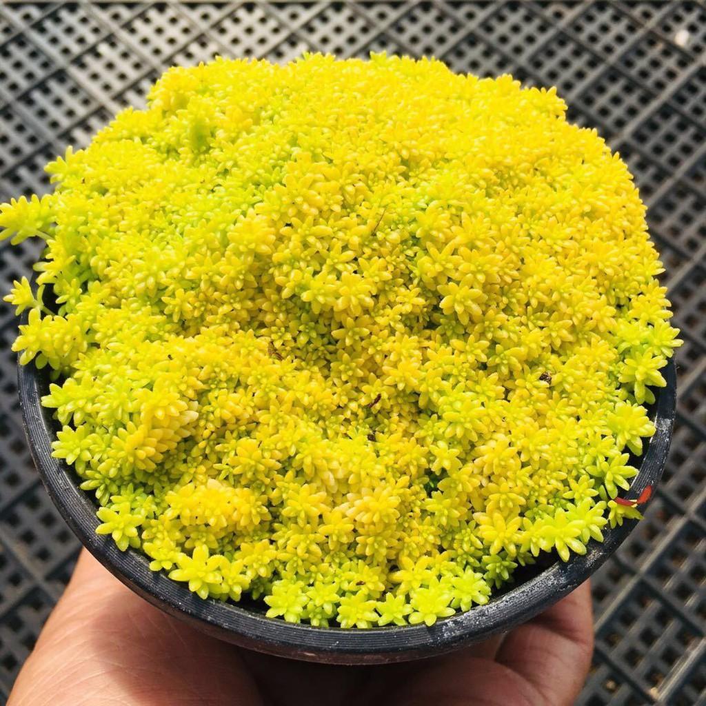 ☬☞ไม้อวบน้ำ หญ้ายืนต้นสีทอง พืชอวบน้ำ สำนักงาน ดอกไม้สีเขียว