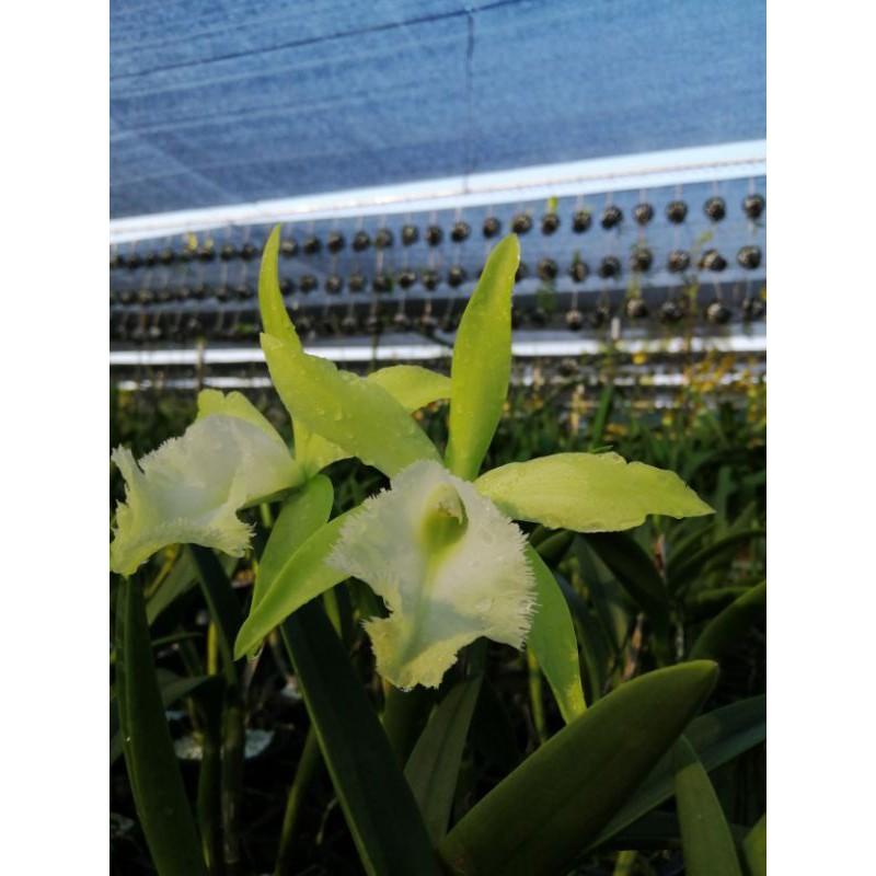 กล้วยไม้ แคทลียาสีเขียวสวย Aristocrat ดอกหอมกลางคืน ออกดอกง่าย