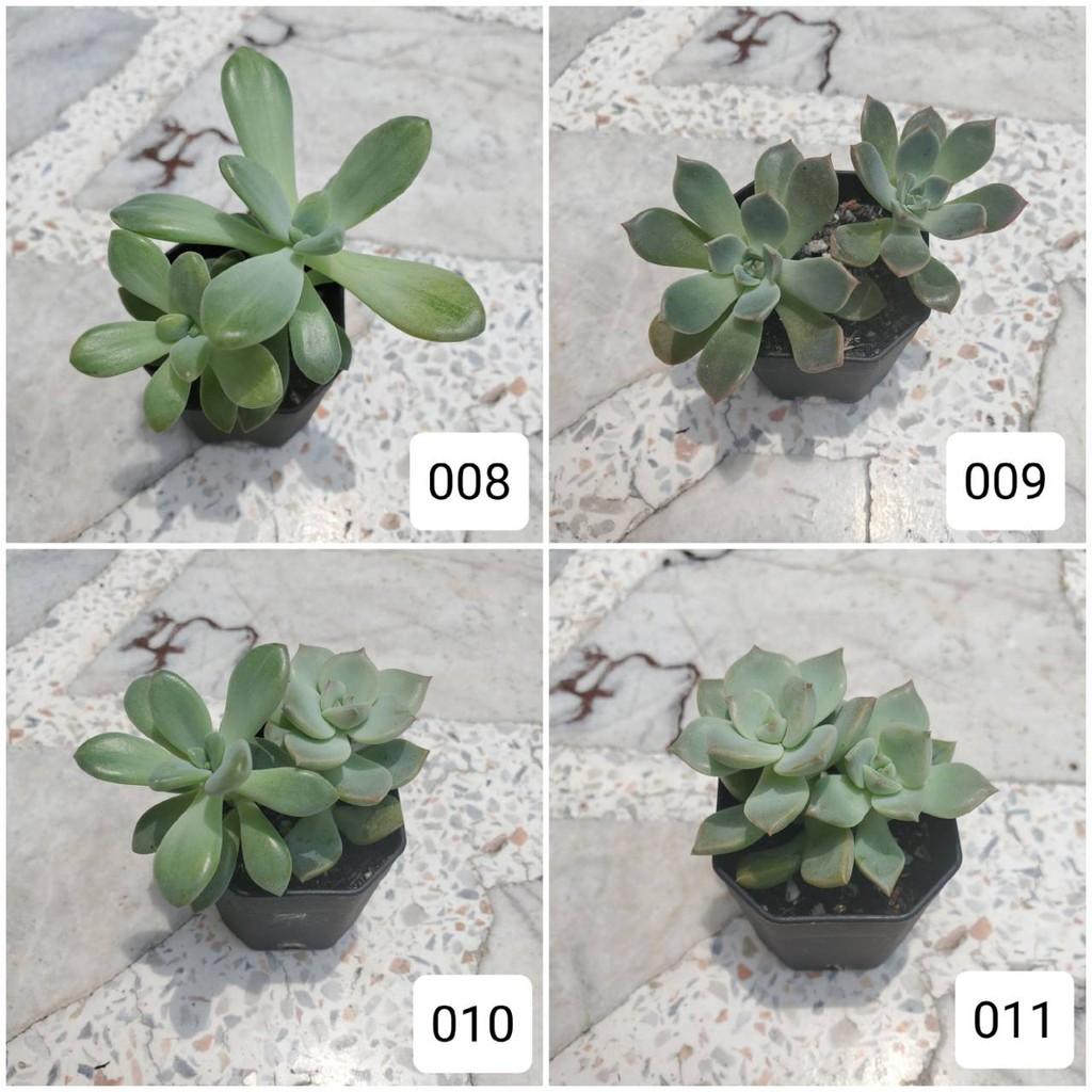 กุหลาบหิน Succulent ไม้อวบน้ำ