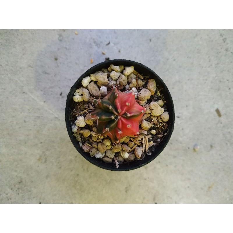 🌵🌵ยิมโนด่าง🌵🌵 สีหวาน ไม้อวบน้ำน่ารัก กระบองเพชร แคคตัส