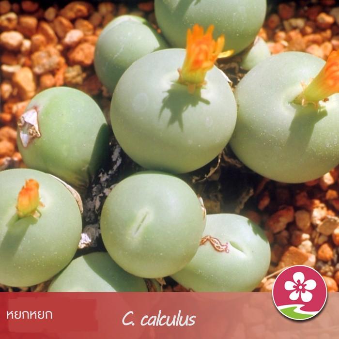 [เมล็ดพันธุ์ดอกไม้ขี้เมา] เมล็ดพันธุ์ไข่นกพิราบ / Jade นำเข้าเมล็ดพันธุ์ไม้อวบน้ำที่นำเข้าจากพืชสกุล Succulents