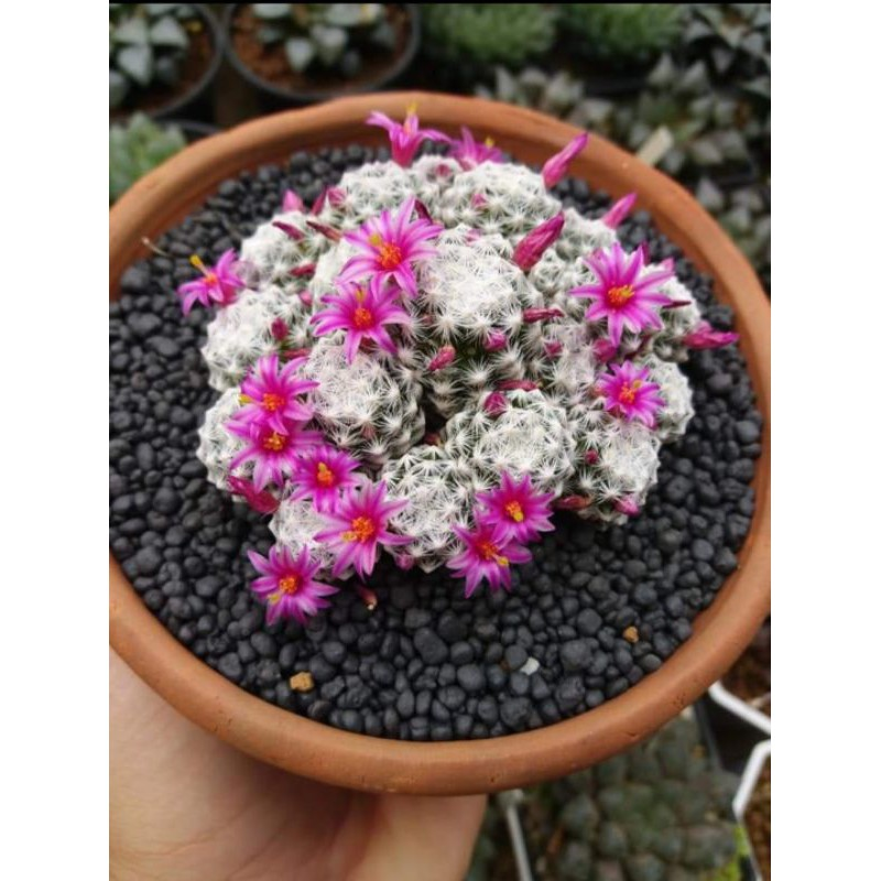 กระบองเพชร แคคตัส (Cactus) แมมลูกกอล์ฟ (Mammillaria humboldtii)