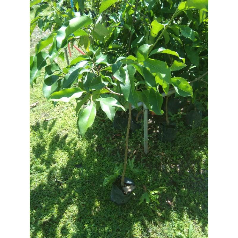 ต้นพิกุลทองขายราคาถูกพร้อมส่งต้นสูง80-100เซนติเมตร(ประกันสินค้าทุกกรณี)