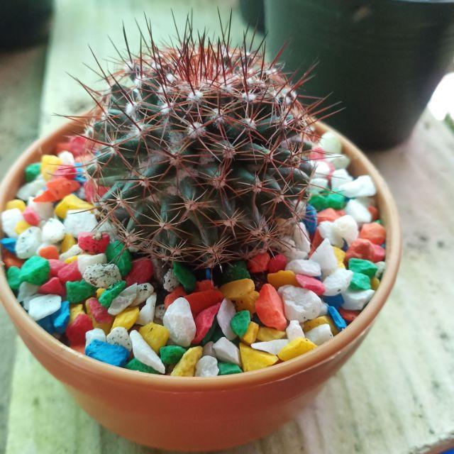 Cactus  Mammillaria.