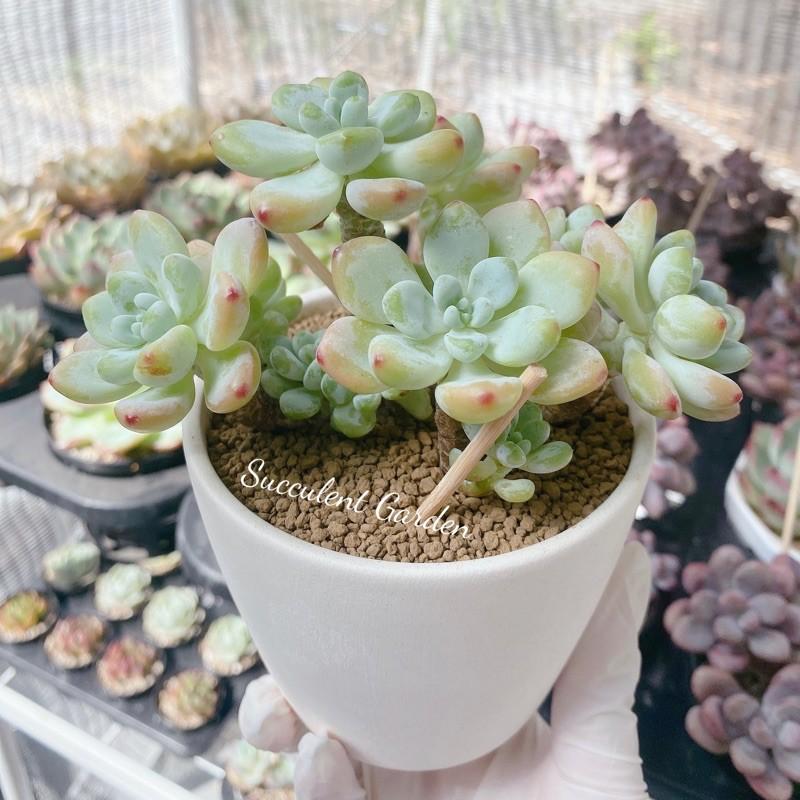 กุหลาบหิน ไม้อวบน้ำ succulent Sedum clavatum