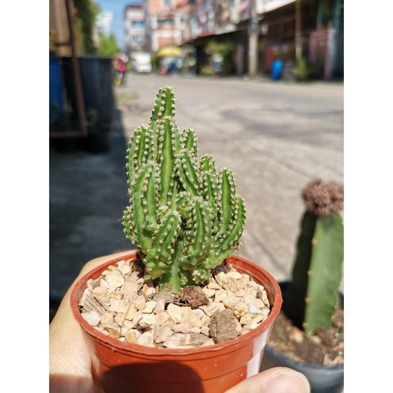 คอนโดนางฟ้า ส่งพร้อมกระถาง กระบองเพชร แคคตัส cactus ไม้อวบน้ำ