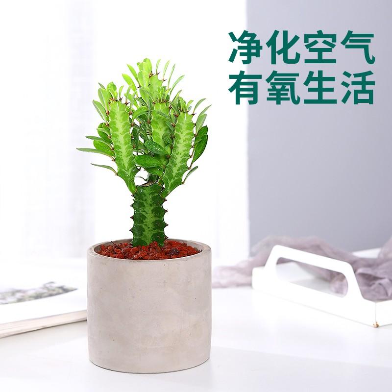 พืชอวบน้ำ✣ไม้กระถางกระดูกมังกร Caiyunge ทนแล้ง กองเก่า นำโชค พืชสีเขียว ฟอกอากาศเพื่อดูดซับฟอร์มาลดีไฮด์และไม้อวบน้ำขนาด
