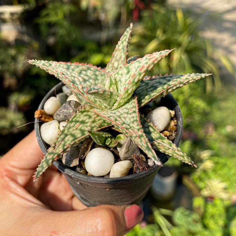 อะโล Aloe แคคตัส ไม้อวบน้ำ