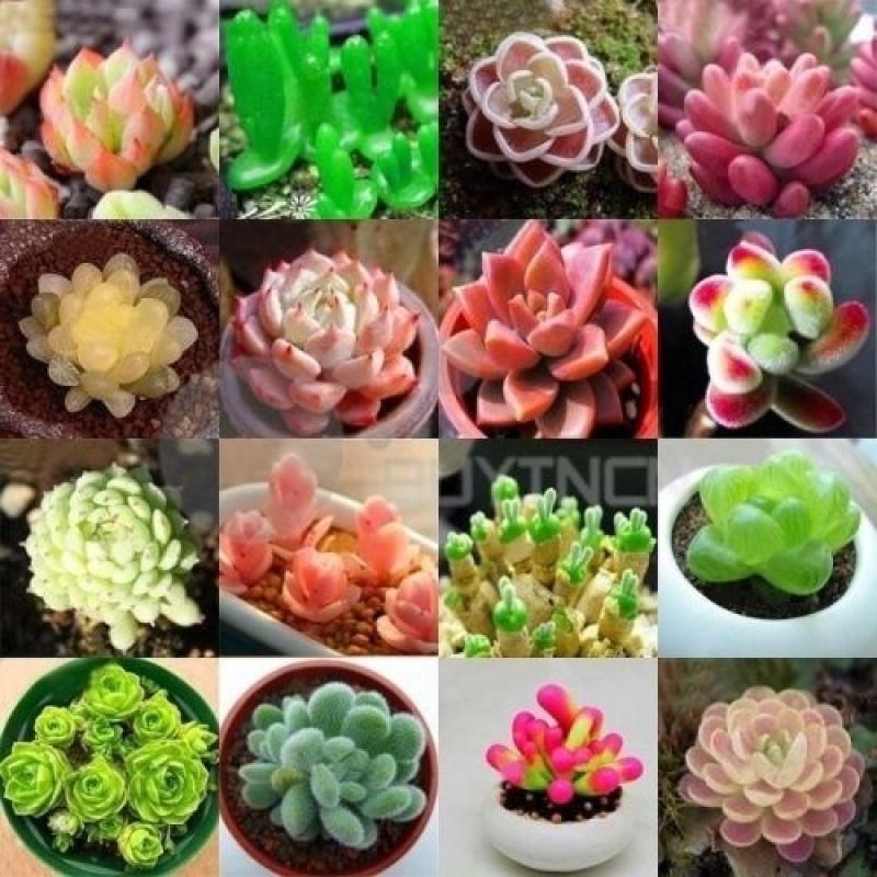 เมล็ดพันธุ์ ไม้อวบน้ำ Mixed Colors Succulent Seeds  เมล็ดดอกไม้ ไม้ประดับ 100 เมล็ดพันธุ์คุณภาพสูง ต้นไม้บอลสี