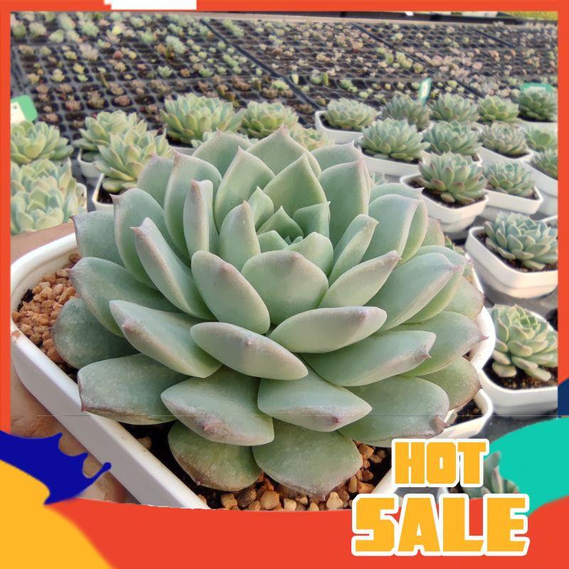 ยิมโนด่าง กระบองเพชร แคคตัส [ ส่งฟรี ] Echeveria Snow Bunny  กุหลาบหินนำเข้า ไม้อวบน้ำ Live Succulents Plant