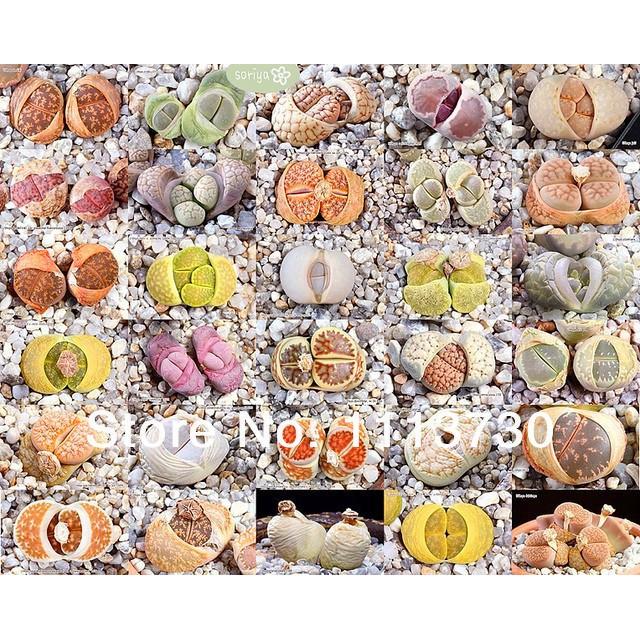เมล็ดพืชอวบน้ำ เมล็ดไม้อวบน้ำ เมล็ดพันธุ์ LITHOPS - karasmontana Mix (20 seeds)