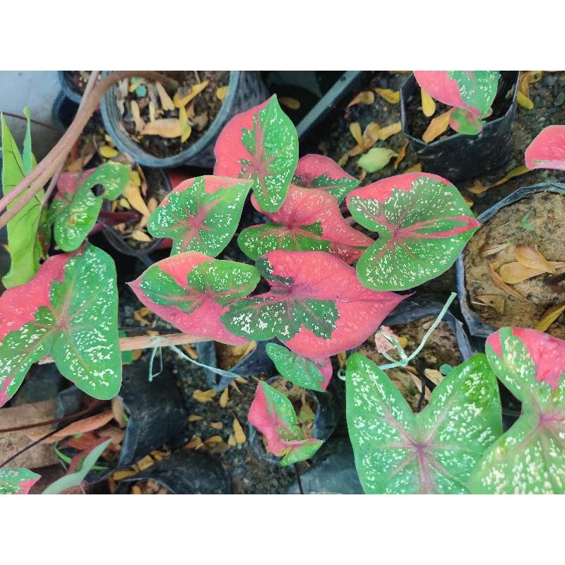บอนนางไหม บอนสีด่างแดง❤️ บอนสี บอนป่า บอนแดง นางไหม บอนหายาก Caladium ชาวสวนมาเอง