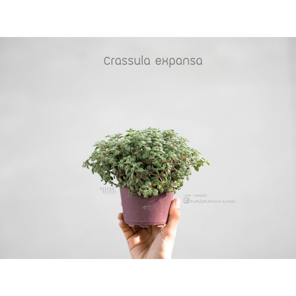 crassula expansa ต้นไม้อวบน้ำ