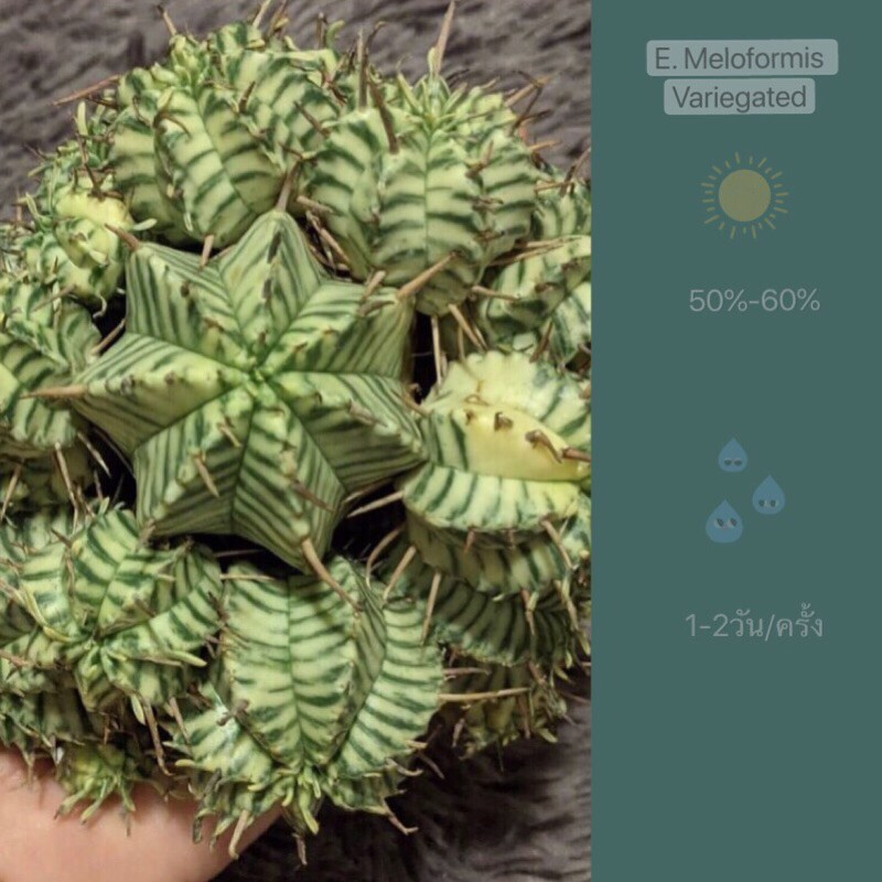 แบ่งหน่อเด็ดสด จ้า🔥 Euphorbia Meloformis Variegated🔥พร้อมส่งค่ะ🔥