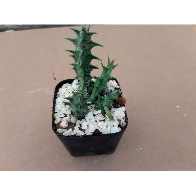 แคตตัสไม้อวบน้ำเก๋งจีน(Huernia Zebrina)
