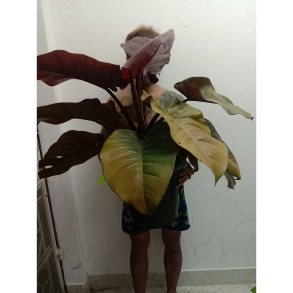 Philodendron Black Cardinal กุมารดำเรียกทรัพย์