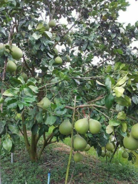 ต้นส้มโอแบบเสียบยอด4ชนิด | Shopee Thailand