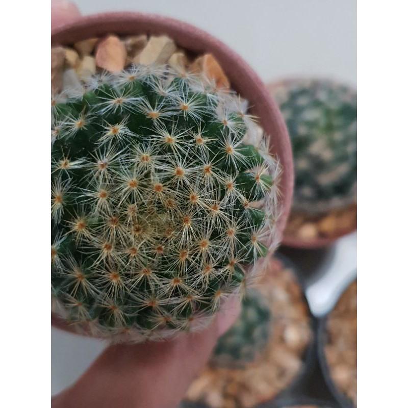 ต้นไม้กระบองเพชร cactus Mammillaria schisdeana (แมมขนนกเหลือง)