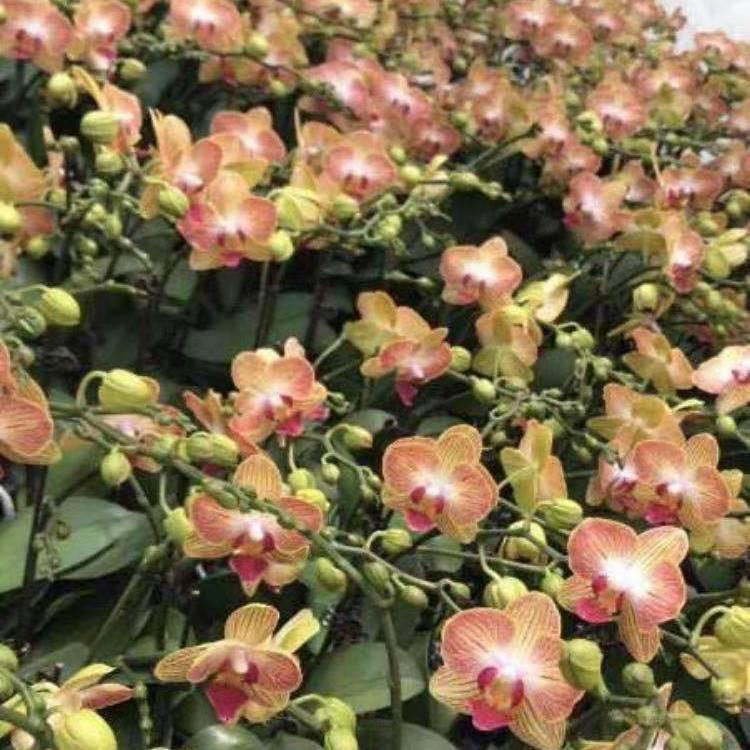 ♚◐ต้นกล้ากล้วยไม้ Oncidium น้ำหอมในฝันพร้อมดอกตูม, น้ำหอมกล้วยไม้เต้นรำที่มีกลิ่นหอมด้วยกระถางแคทลียา Phalaenopsis โฟร์ซ