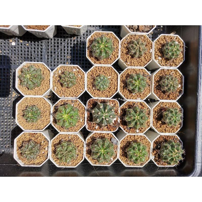 ยิมโน ไม้เมล็ด 1 ต้น ส่งพร้อมกระถาง กระบองเพชร แคคตัส cactus ไม้อวบน้ำ