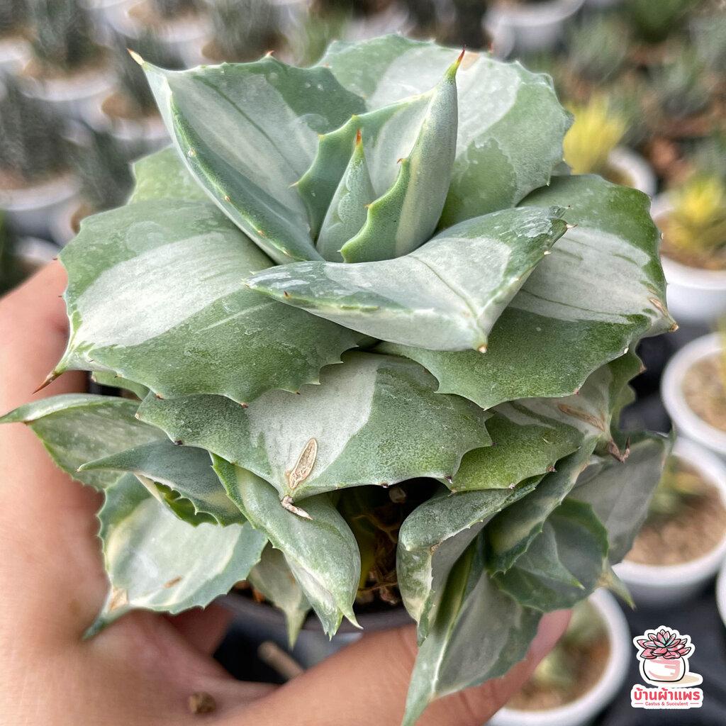 อากาเว่ด่างแคระ Agave isthmensis Ohi Raijin variegata กระบองเพชร ไม้อวบน้ำ cactus&succulent หลากหลายสายพันธ์