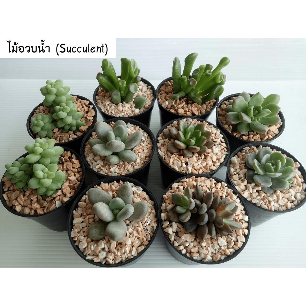 ไม้อวบน้ำ (Succulent)