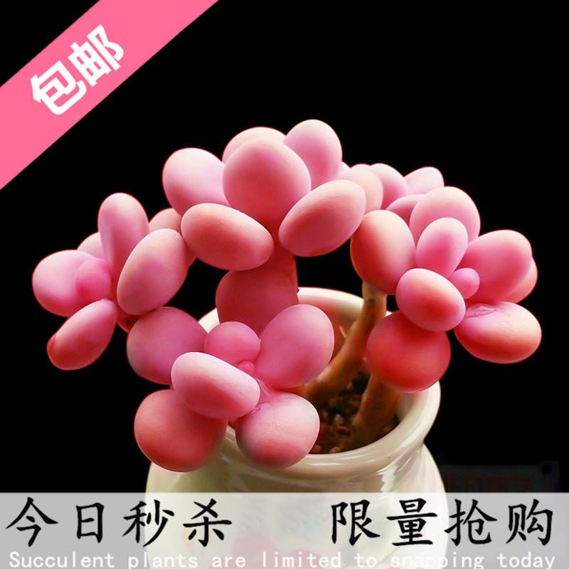 ✧ไม้อวบน้ำ ไม้ใหญ่ พันธุ์หายาก ไข่พีชในกระถาง ชิ้นใหญ่, คุณภาพดี ดอกบาน กองเก่า กวาดล้าง ส่งฟรี