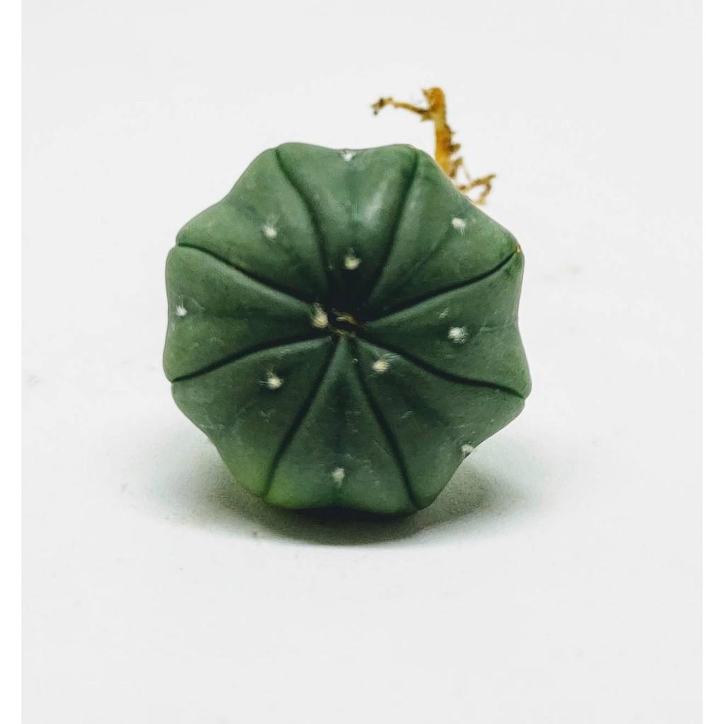 แอสโตร แอสทีเรียส (Astrophythum asterias) #cactus #แคตตัส #กระบองเพชร #ไม้อวบน้ำ