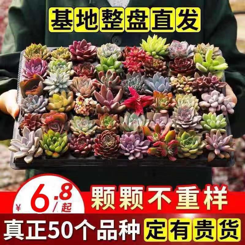 【พร้อมส่ง】เมล็ดสวน ✠✇Succulents รวมไม้อวบน้ำ พืชอวบน้ำ ไม้กระถาง succulents สามเณรดี แพ็คเกจส่งกระถางพร้อมดิน