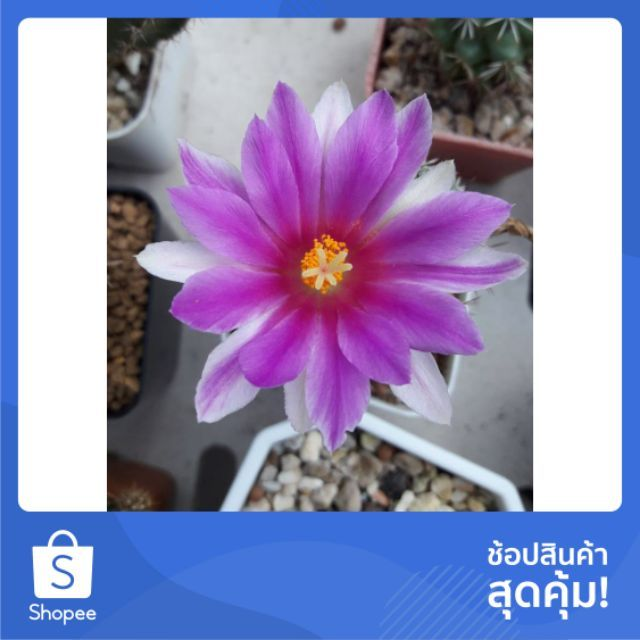 Cake Cactus Farm : กระบองเพชร Mammillaria schumanni แมมชูแมน ดอกชมพู
