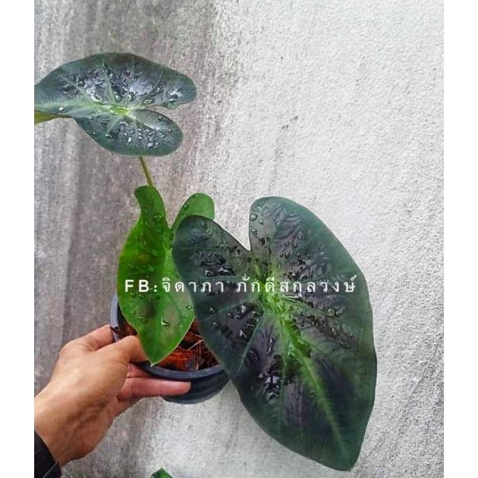 ไอ้มดเขียว colocasia Aloha