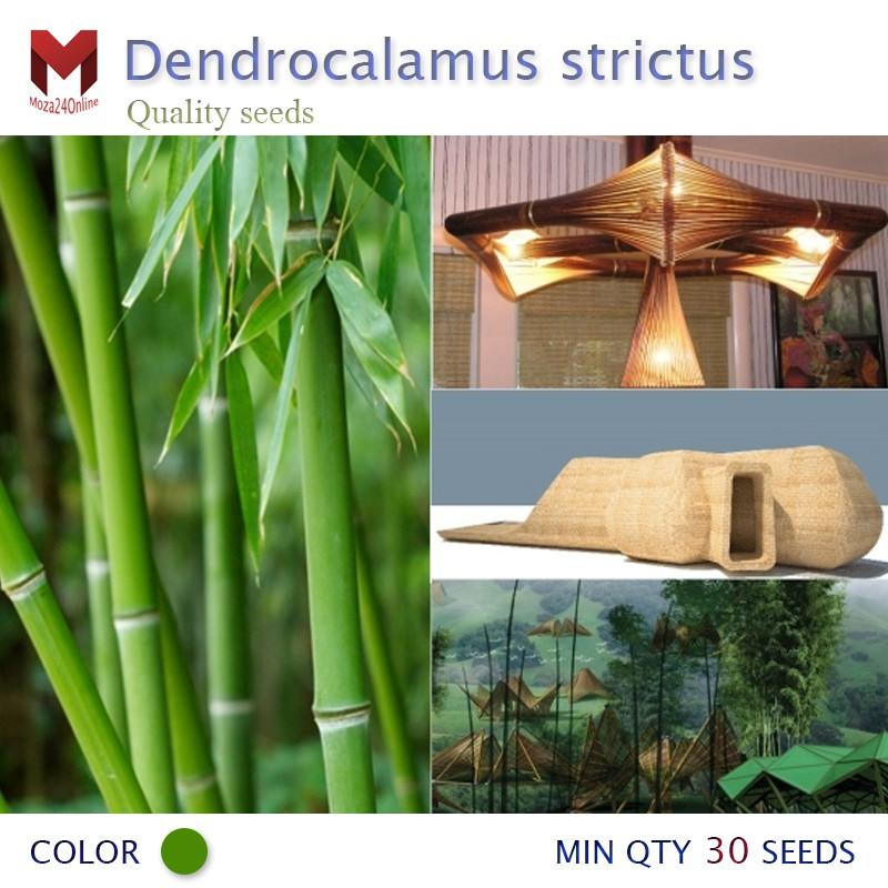 ไผ่ซางหม่น Dendrocalamus strictus ไผ่ราชินี (30เมล็ด)