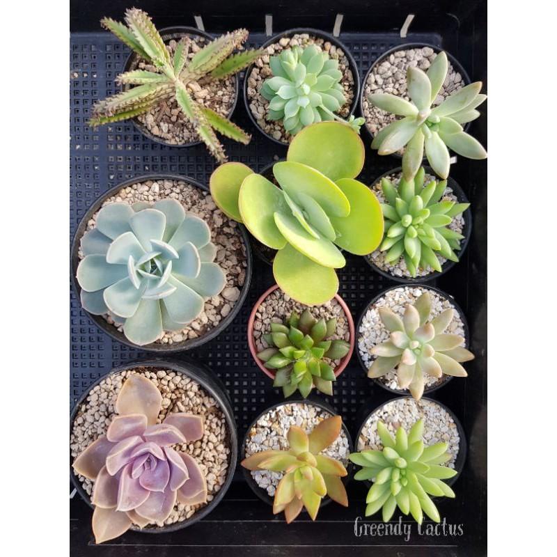 กุหลาบหิน ราคาถูก ไม้อวบน้ำ Succulent