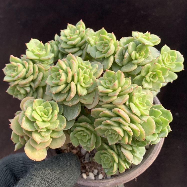 ㍿ไม้อวบน้ำ Laceae wax peony มากกว่า 8 หัว multi-headed ทั้งสำนักงานรวมกระถางต้นไม้