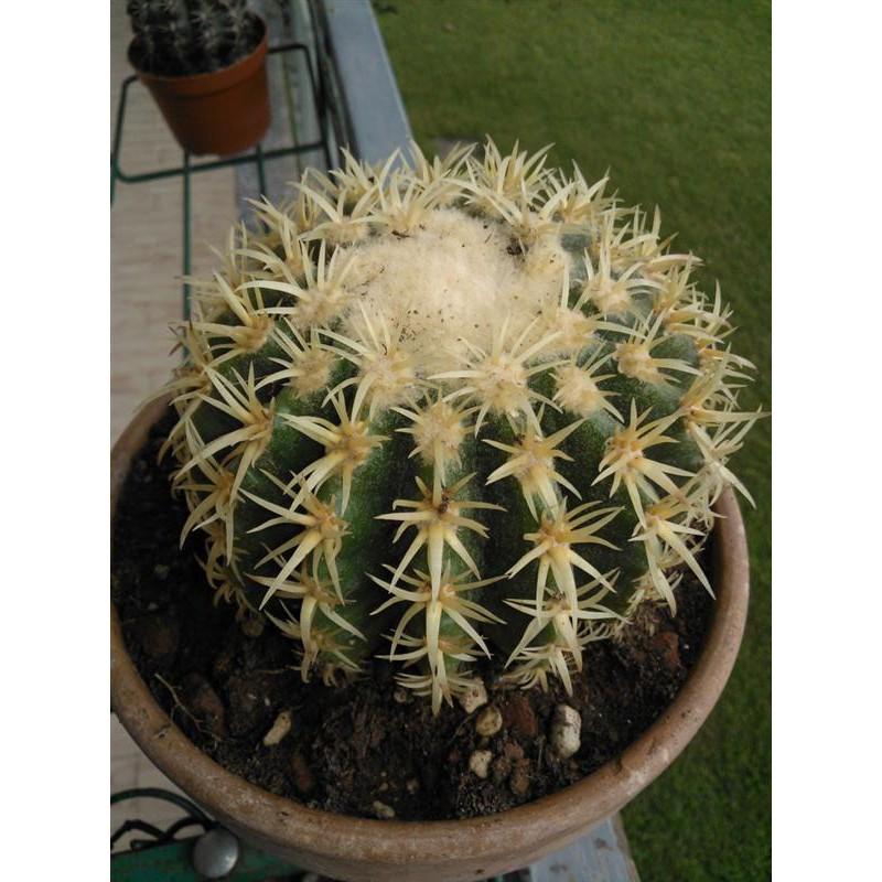 กระบองเพชร ไม้อวบน้ำ cactus succulent seeds เมล็ดพันธุ์แคคตัส Echinocactus grusonii v intermedius (ถังทองหนามสั้น)