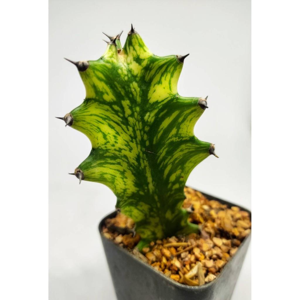 ยูโฟเบีย ด่างเหลืองเขียว ขนาดประมาณ 5 CM (Euphorbia)แลคเทีย กระดูกมังกร ไม้มงคล ต้นไม้เสริมดวง #cactus #กระบองเพชร
