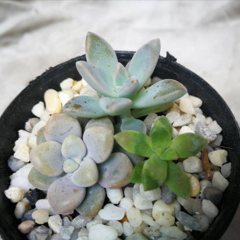 กุหลาบหิน ไม้อวบน้ำ succulents