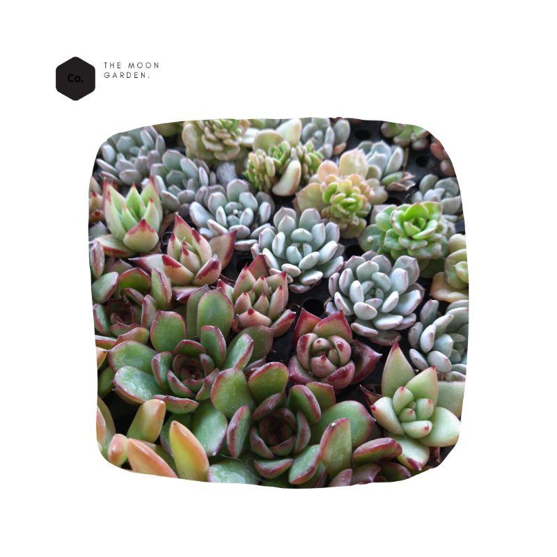 Succulent(ไม้อวบน้ำ)