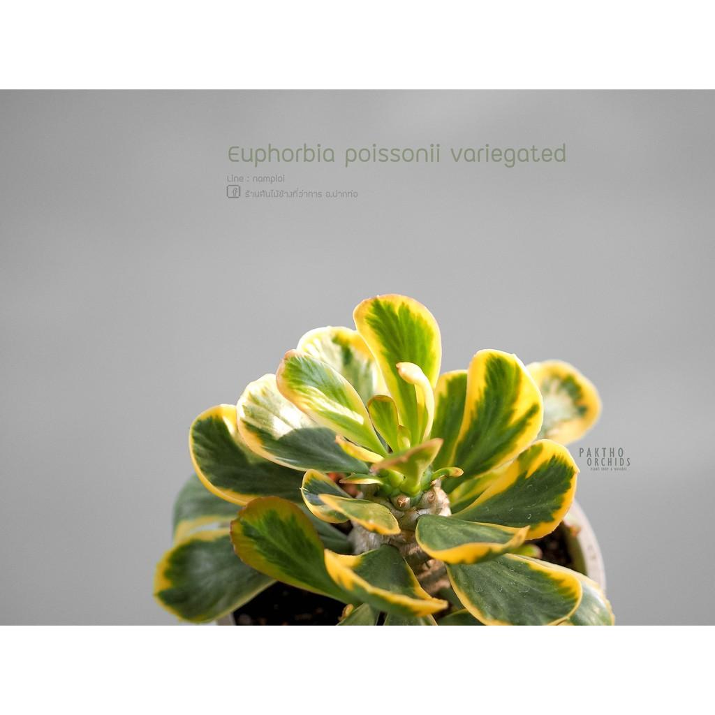 Euphorbia poissonii variegated 'ทองอำพัน' กระบองเพชร ต้นไม้อวบน้ำ ต้นไม้ใบด่าง