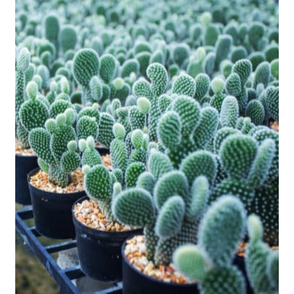 (ต้นไม้จริง) ต้นกระบองเพชรหูกระต่าย Bunny ears cactus  หนามขาว ตระกูลโอพันเทีย