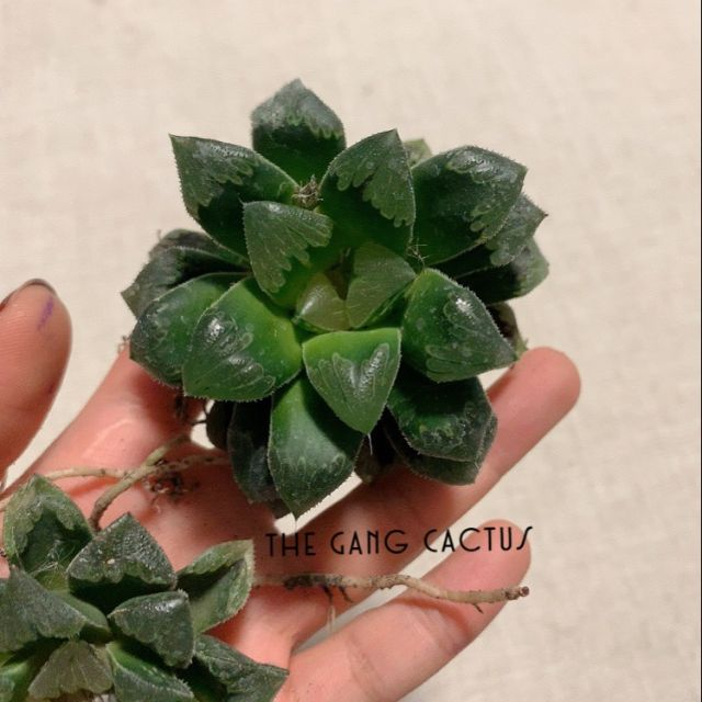 Haworthia Shiba toshi 🍀 ฮาโวเทีย / ไม้อวบน้ำ ทรงสวย พุ่มหนา