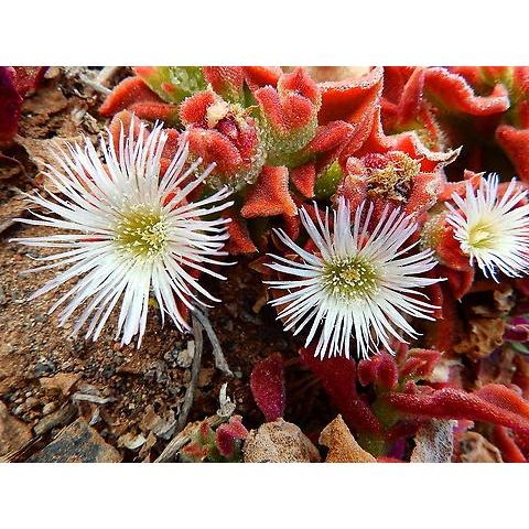 เมล็ดพันธุ์ ไม้ดอกอวบน้ำ Mesembryanthemum crystallinum iceplant  10 เมล็ด เมล็ดพันธุ์นำเข้าจาก อังกฤษ