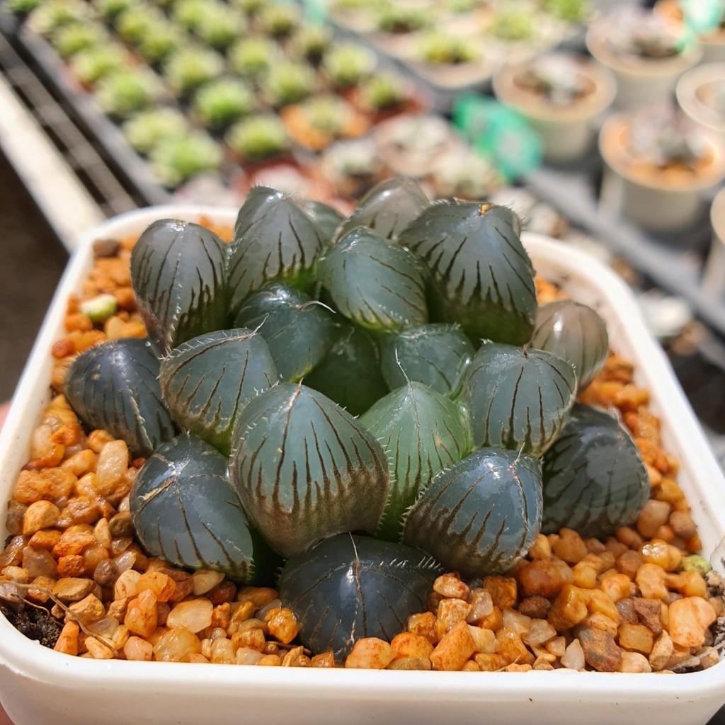 Haworthia kyodai Akasen Lens Succulents 2Uกุหลาบหินนำเข้า ไม้อวบน้ำ