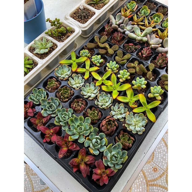 ไม้อวบน้ำ Succulents นำเข้า