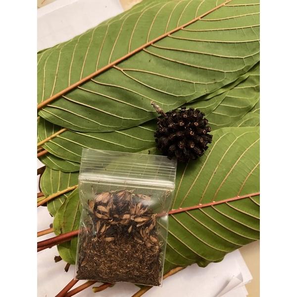 เมล็ดพันธุ์กระท่อมภาคใต้ ก้านแดง แตงกวา ก้านเขียวหางกั้ง จากต้นแม่อายุ 40 ปี