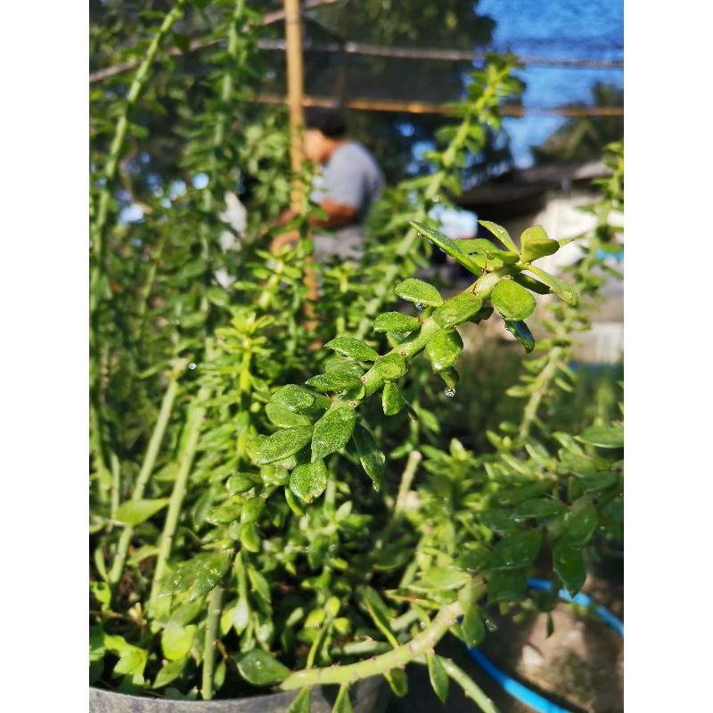 ตอเปอเรสเกีย ตัดสด 1ตอ 10-12นิ้ว ตอ เปเรสเกีย เปอร์เรสเกีย pereskiopsis Cactus แคคตัส กระบองเพชร ไม้อวบน้ำ ไม้กราฟ